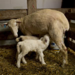 Coccidiosis: Sheep & Goat News April 2014