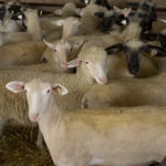Downer Ewes: Sheep & Goat News February 2014