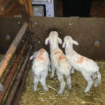 Cervix Fails to Dilate: Sheep & Goat News February 2014