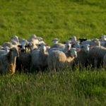 Pneumonia: Sheep & Goat News January 2014