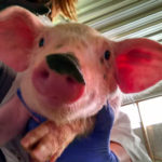 Pig of the Week: I MUSTACHE you a question!