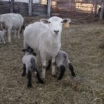 Lambing Time Preparation
